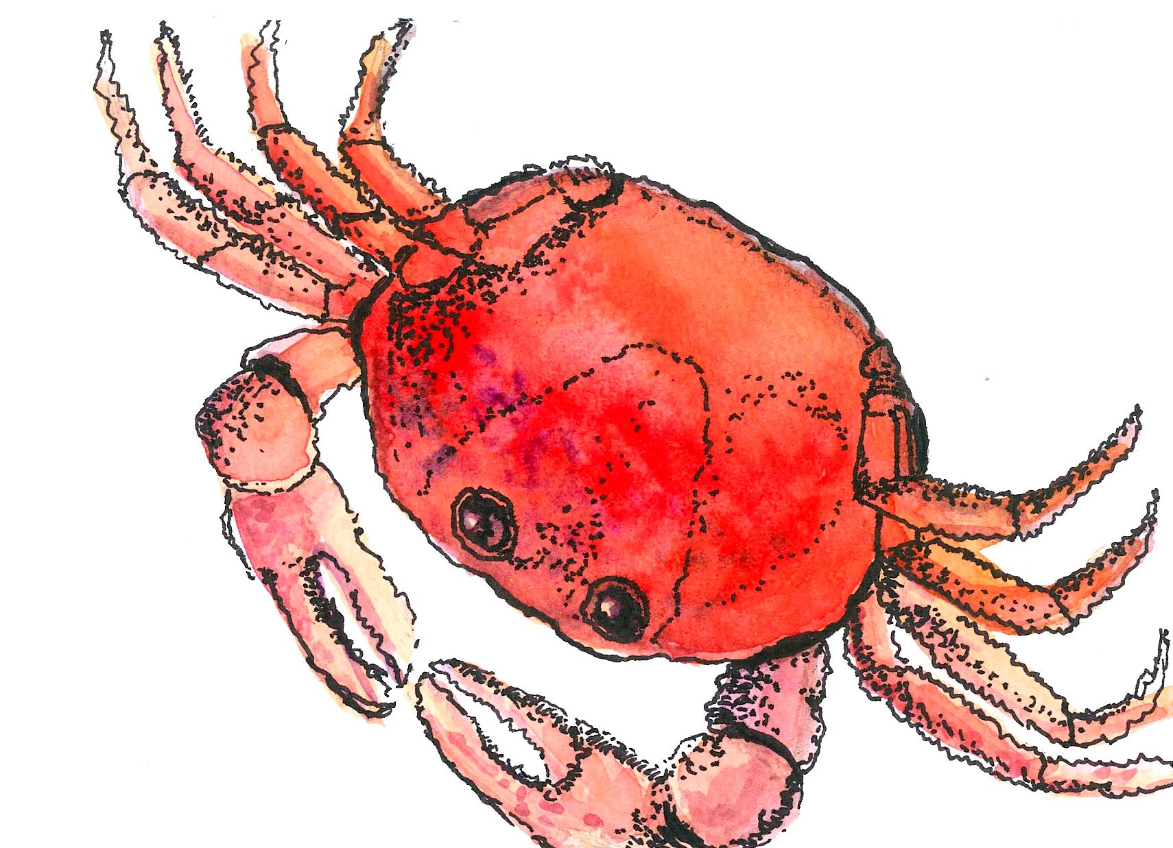 Crab, watercolor